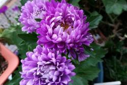 翠菊种子什么时候播种最好