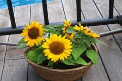 矮向日葵什么时候播种