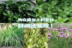 适合阳台盆栽的香草植物推荐