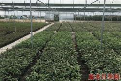 2021年月季苗批发价格