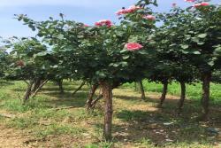 6厘米的树状月季多少钱一棵