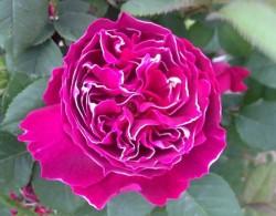 紫袍玉带(Roger Lambelin)