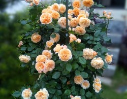 玛格丽特王妃花柱养成记