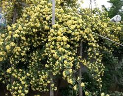 重瓣黄木香为什么贵?