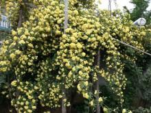 黄木香怎样才能多开花呢