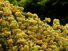 黄木香只长叶子不开花是什么原因