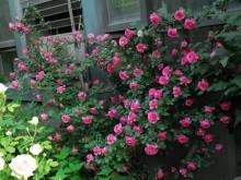 粉色达芬奇勤花吗,好不好养?