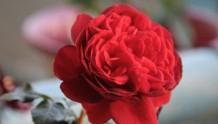 玫瑰国度的天使