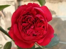 玫瑰国度的天使和红龙有什么不同?
