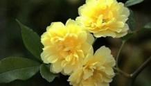 【黄木香】重瓣黄木香