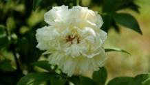 【白木香】重瓣白木香
