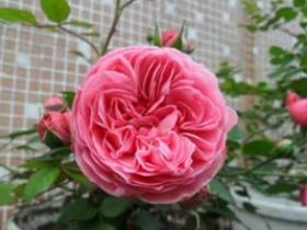 粉色达芬奇