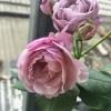 薰衣草花环(Lavender Flower Circus)