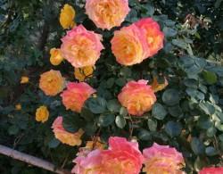 一株竟能开四色花的月季——藤彩虹