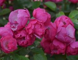 安吉拉花期,一年开几季花?