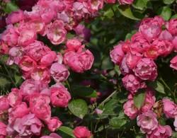 安吉拉如何种植才能多开花