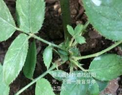 藤本月季盲芽盲枝的成因及修剪方法