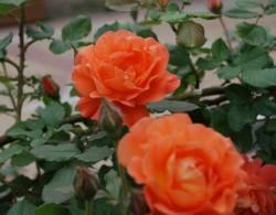 藤本月季最香的品种都有哪些?