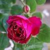 紫袍玉带月季开几季花?