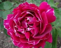 紫袍玉带如何修剪养护