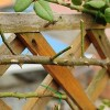 藤本月季如何修剪和牵引爬墙