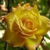 藤本黄和平