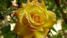 藤本黄和平(Yellow Peace)