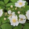 藤本月季和蔷薇有哪些不同,如何区分?