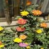 藤彩虹什么时候开花,开几季?
