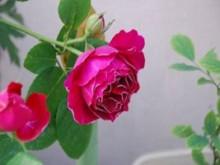紫袍玉带的优缺点解析!