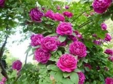 紫袍玉带长得快吗,能长多长?