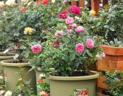 盆栽的藤本月季施肥方法