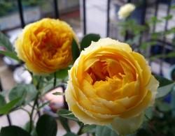 经典的黄色月季品种盘点