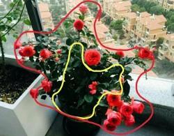 盆栽月季的好坏如何评定?