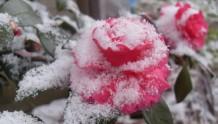 耐寒的十大藤本月季推荐
