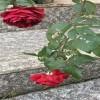 玫瑰国度的天使怎么养?