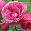 粉色达芬奇——带香的开花机器
