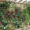 藤本月季花墙用什么材料搭?