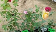 藤本月季移栽是多带叶子还是少带叶子?