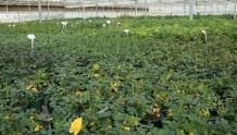月季休眠季节的生理黄叶及处理方法