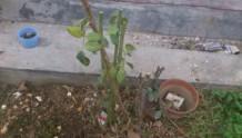 冬季月季裸根移栽再次发芽如何处理?