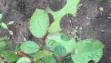 月季切叶蜂的危害及防治方法