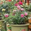 盆栽月季爆盆心得 养出惊艳的美