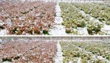 为什么月季枝叶有红有绿?下雪会不会冻死?广东要不要冬剪?