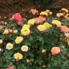 藤本月季那么美,新手种植要注意什么?