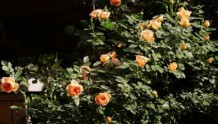 适合盆栽的藤本月季有哪些?