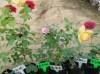 藤本月季小苗移栽方法