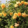 黄金庆典一年开几次花?
