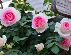 粉色龙沙宝石四季开花吗?