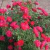 盆栽月季品种有哪些?